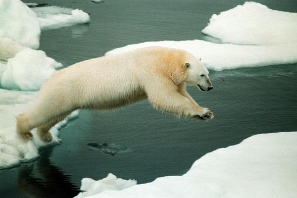 北极熊.结果变暖已经v结果到生存在全球的动物.大熊猫林惠两极图片