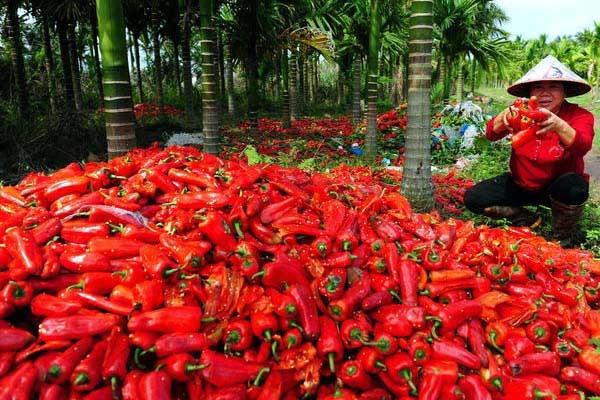 海南琼海农民倒掉大量滞销辣椒