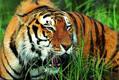 拯救野生虎