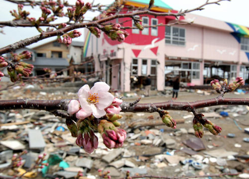 2011年4月11日,日本福岛,废墟中盛开的樱花。The Asahi Shimbun/Getty Images/CFP