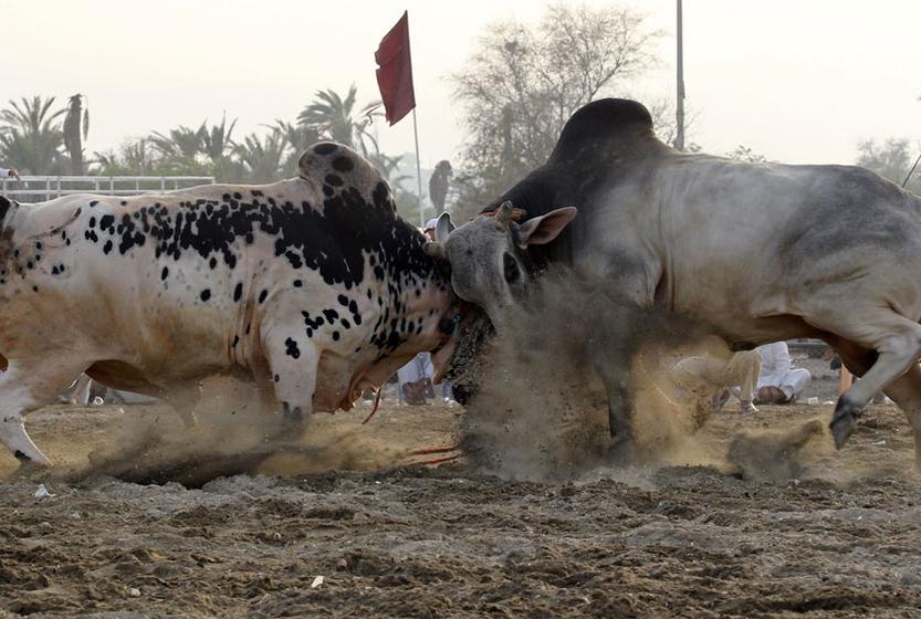 当地时间2011年5月14日,阿联酋Fujairah举行传统斗公牛活动。 KARIM SAHIB/东方IC  _财新每周图片(2011.5.14-5.20)