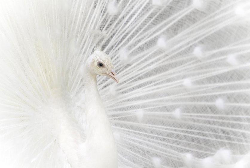 5月24日,罗马尼亚,一只开屏的白孔雀望向窗外.