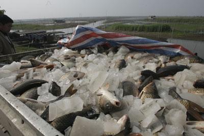 5月4日,鱼贩子到洪湖渔场收鱼。持续干旱使洪湖渔场养殖水域几近干涸,渔船难行,渔民和养殖户受损严重。CFP