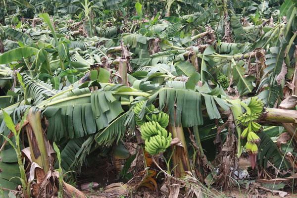三亚:热带风暴吹倒百亩香蕉树