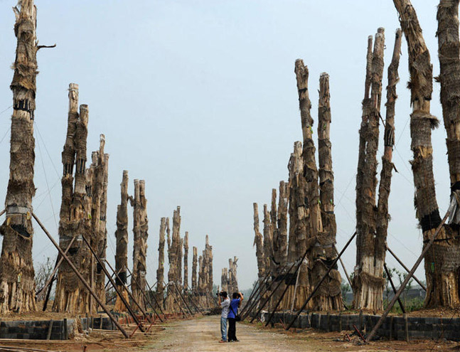 The decrepit state of the trees has become an attraction in itself. Photo by Ma Qibin/CFP