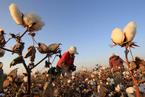 棉花目标价格渐入正轨 食糖改革酝酿