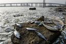 海河闸岸大面积死鱼原因待查