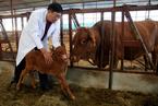 中韩合作 将量产克隆肉牛