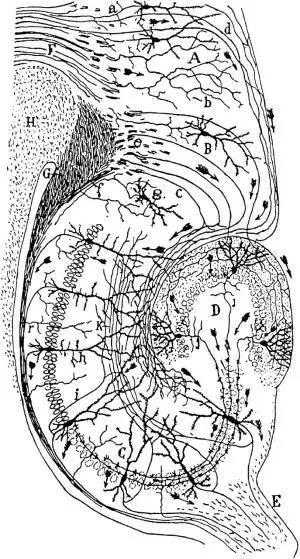 卡哈尔笔下经典的大脑海马区域结构简图