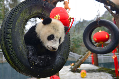 China: Giant Pandas Still Endangered, Here's Why