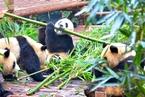 """当大熊猫不再""""濒危"""""""