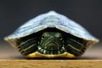 500巴西龟险入未名湖 专家称不当放生等于杀生