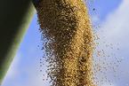 国际大豆种植者联盟:呼吁中国加快生物技术审批