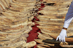 TRAFFIC:中国电商野生动物制品广告减少 象牙仍占六成