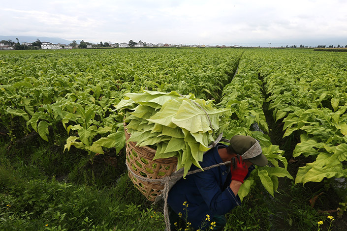 A farmer carries a basket of tobacco leaves in July in Dali, Yunnan province. China National Tobacco Corp. and Imperial Brands PLC have announced a joint venture to tap global markets. Photo: Visual China