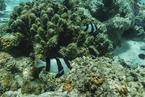 南海四成珊瑚因2015年厄尔尼诺事件死亡