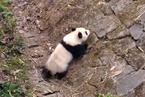 """野化放归大熊猫""""和盛""""确认死亡"""