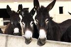 巴基斯坦一省立志为中国养更多驴 填补阿胶原料缺口