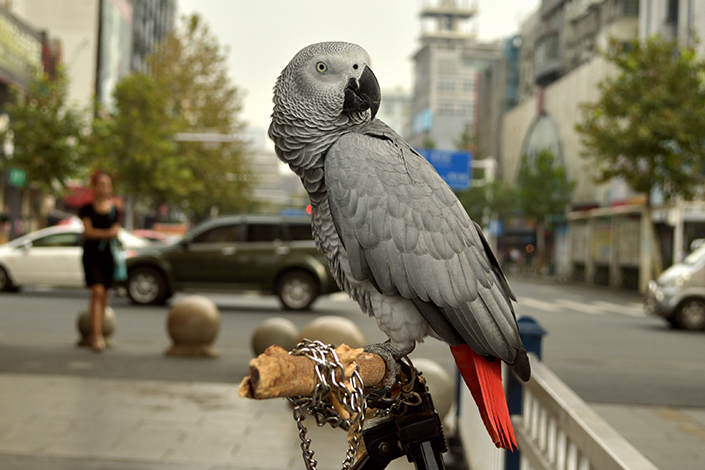 A Shenzhen man was sentenced to five years in prison for selling several parrots that are endangered species, stirring online debate over whether the punishment was fair. Above, an African gray parrot stands in front of a shop in Changde, Hunan province, on Oct.4, 2014. Photo: Visual China