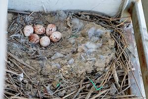 北京居民窗外红隼安家产卵 历时一月小隼已能飞翔