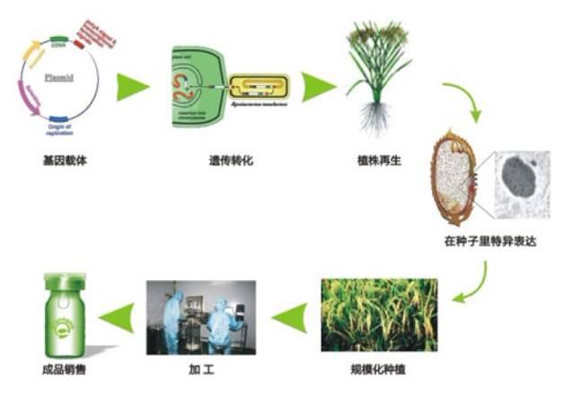 """酵母""""造"""",水稻""""种"""",猪""""生产"""":人血清蛋白短缺或将不再图片"""