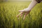 环保部回应河南疑似涉镉麦问题:农用地修复成本较为高昂