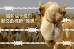 """骆驼成卡塔尔断交危机新""""难民"""""""
