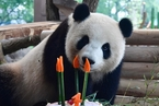 """中国赴德大熊猫""""梦梦""""庆四岁生日 享美味蛋糕"""