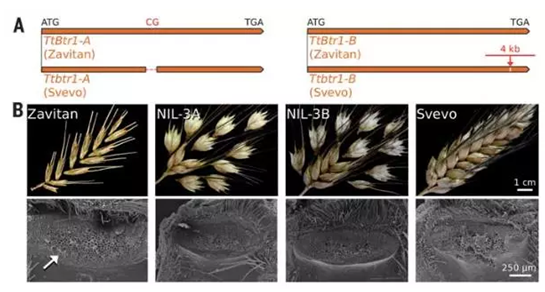 不同小麦穗粒易碎情况(即落粒性),来源:Science