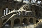 英国自然历史博物馆展出126岁蓝鲸骨骼 场面壮观
