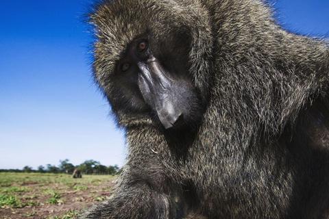 """""""好奇""""狒狒误闯水电站 切断赞比亚旅游城市电源"""