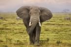 世界大象日:中国象牙禁贸道阻且长