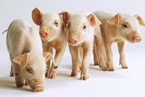 A股养殖大户生猪业务承压 下半年猪价难大涨