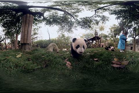 【VR纪录片】熊猫①