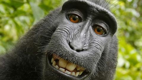 猴子自拍照版权归谁?双方诉讼终和解
