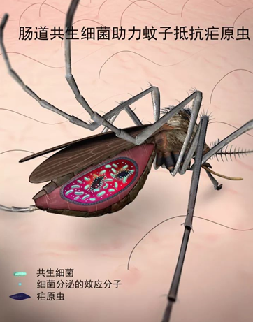 中科院上海植生生态所等发现能在按蚊中进行持续跨代传播的新共生细菌,能高效驱动抗疟效应分子快速散播到整个蚊群中,使按蚊成为无效的疟疾媒介,实现从源头上阻断疟疾传播。图片由中科院上海植生生态所提供。