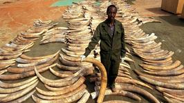 CITES:去年全球范围内缴获象牙量创新高
