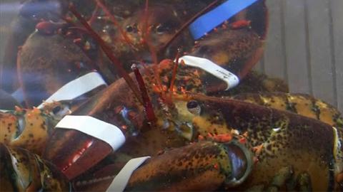 担心动物感到疼痛 瑞士新法禁止活煮龙虾