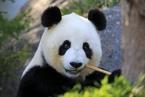 四川大熊猫国家公园获100亿意向性融资 将用于园区扶贫