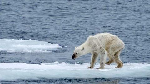 新陈代谢高于预期50% 北极熊灭绝威胁或加剧