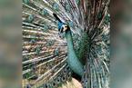 云南启动濒危动物绿孔雀种群及栖息地调查