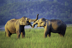 云南野生亚洲象闯入普洱市区 幸无人员伤亡