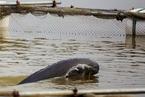 基因测序长江江豚属独立物种 比大熊猫珍贵