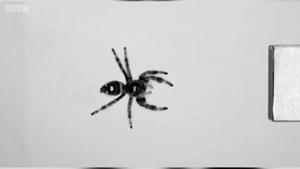 蜘蛛最远可以跳多远?