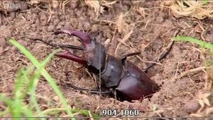 与时间赛跑的锹甲虫