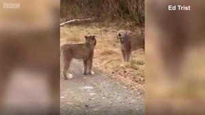 这对互相尖叫的山猫究竟在做什么?