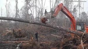 被人类摧毁家园的猩猩