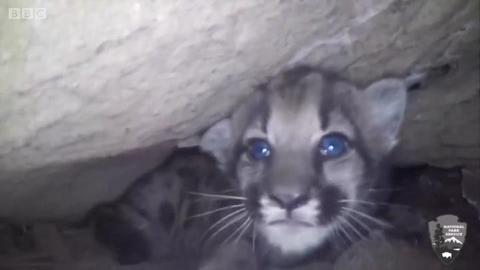 美一山洞公园发现一窝蓝眼睛山狮小猫