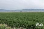 """登海种业承认""""误种""""2590亩转基因玉米 公司高管被新疆警方拘押"""