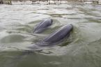 长江江豚数量下降得到缓解 但仍极度濒危